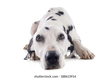 dalmatian dog in front of white background