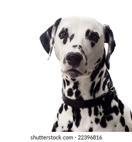 Dalmatian dog isolated on white with copyspace.