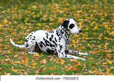 Dalmatian dog laying on a grass