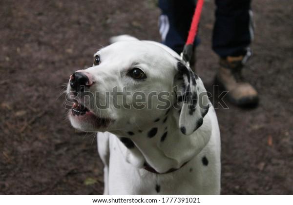 dalmatian-dog-mouth-open-due-600w-177739