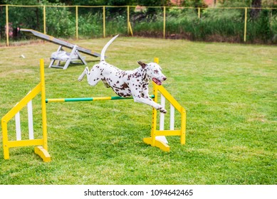 Dalmatian dog on agility field, training and competing, jumping over obstacles, crossing over balance ramp, passing thorough the tunnel, running slalom ...