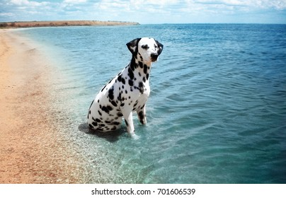 Dalmatian dog on the beach