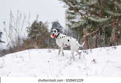 Dalmatian dog on snow