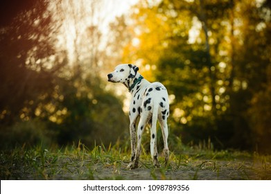 Dalmatian dog outdoor portrait standing in field with afternoon light shining through trees