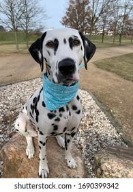 Dalmatian Dog Points Nature Dogphotography