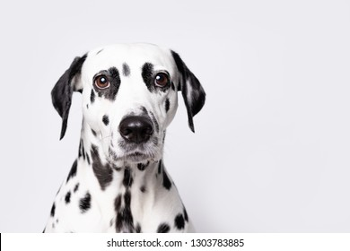 Dalmatian dog portrait isolated on white background. Copy space