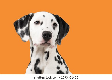 Dalmatian dog portrait on an orange background