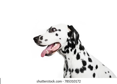 Dalmatian dog portrait in profile. Isolated on white background