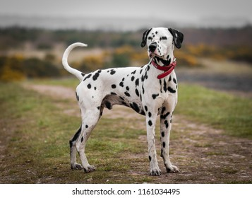 Dalmatian dog portrait stood up tall