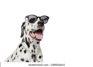 Dalmatian dog portrait with tongue out isolated on white background. Cool dog in black glasses. Copy space