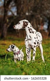 Dalmatian dog with puppy