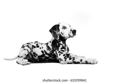 dalmatian dog puppy