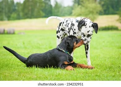 Dalmatian dog with rottweiler puppy