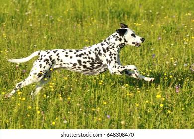 Dalmatian dog running across meadow in summer