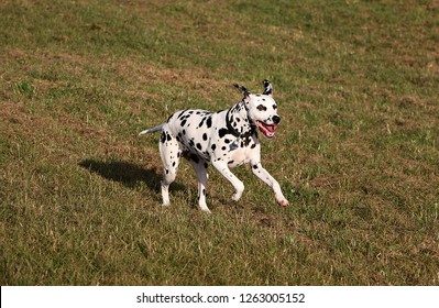 dalmatian dog is running in the garden