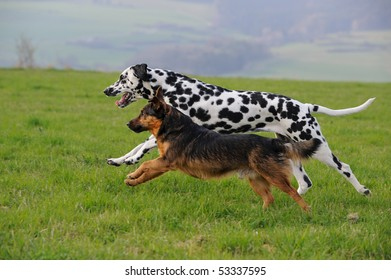 Dalmatian dog running with terrier dog