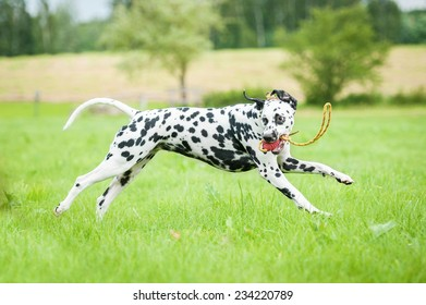 Dalmatian dog running with a toy
