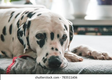 Dalmatian Dog with a sad/bored/relaxed/sick expression sleeping on a sofa in brightly lit modern apartment