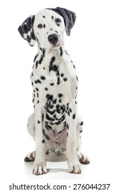Dalmatian dog sitting  looking in the camera at a white background