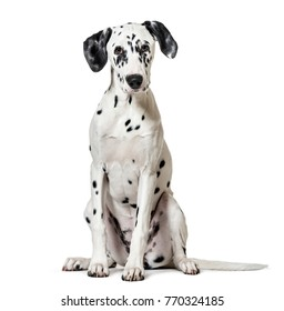 Dalmatian dog, sitting, looking at the camera, isolated on white