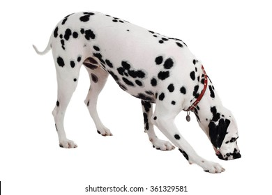 Dalmatian dog smelling