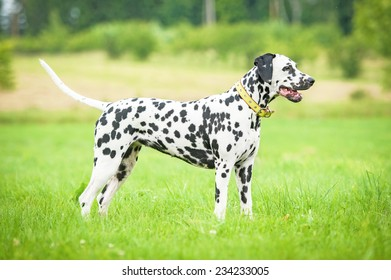 Dalmatian dog standing on the grass