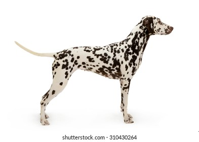 Dalmatian dog, stands isolated on white background
