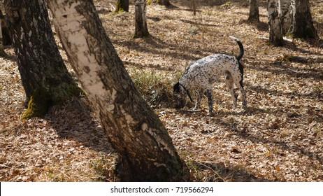 Dalmatian dog at sunset. Dalmatian walks in the Park in autumn