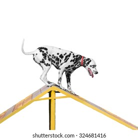 Dalmatian dog is trained on the barrier slide - Isolated on white