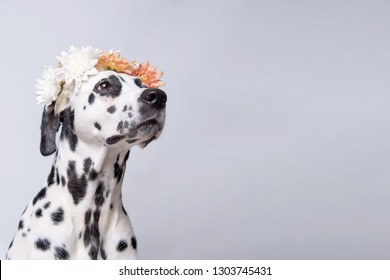 Dalmatian dog with white and yellow floral crown looks to the right isolated on white background. Chrysanthemum flower wreath. Copy space.