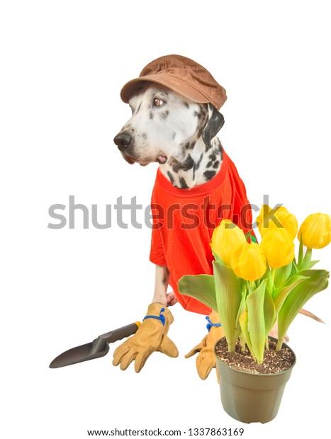 Dalmatian gardener. Acting dog, Isolated on white.