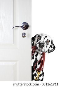 Dalmatian with a leash peeks out from behind the door