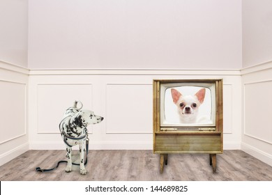 Dalmatian looking at the chihuahua on TV in cozy vintage room