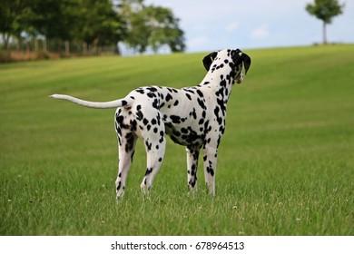 dalmatian is looking in the garden