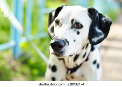 dalmatian on a green grass outdoors