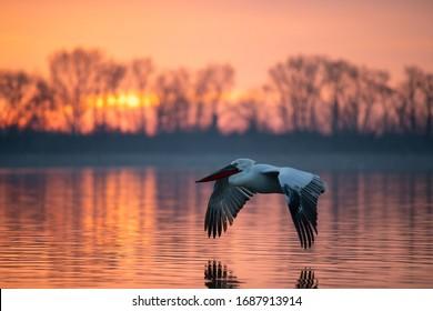 Dalmatian pelican in flight. Pelicans from Kerkini lake, Greece.