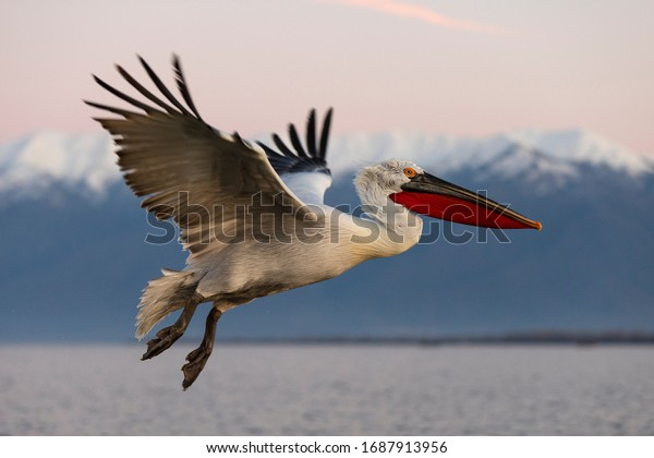 Dalmatian pelican in flight. Pelicans from Kerkini lake, Greece.