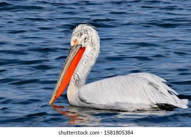 A dalmatian pelican, the most massive member of the pelican family.