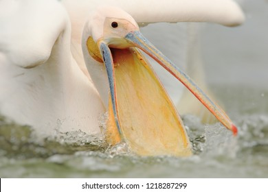 Dalmatian pelican on lake