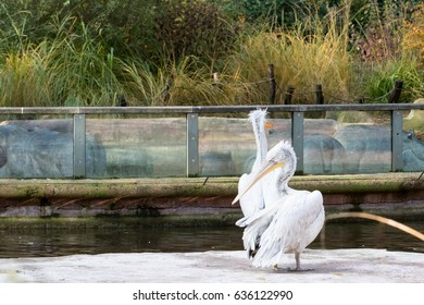 Dalmatian Pelican (Pelecanus crispus) captive