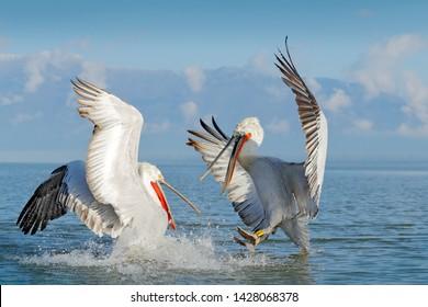 Dalmatian pelican, Pelecanus crispus, fight in Lake Kerkini, Greece. Pelican with open wings. Wildlife scene from European nature. Bird landing to the blue lake water. Bird fly.