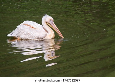 Dalmatian pelican (Pelecanus crispus) floats with its beak in river - Shutterstock ID 1747612097
