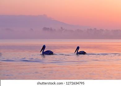 Dalmatian pelican, Pelecanus crispus, in Lake Kerkini, Greece. Pelican with open wings. Wildlife scene from European nature. Bird and orange blue sky. Bird with morning sunrise.