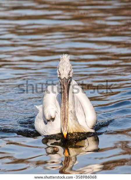 Dalmatian pelican (Pelecanus crispus) in lake, the eyes are sharp.