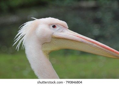 The Dalmatian pelican Pelecanus crispus is a massive member of the pelican family