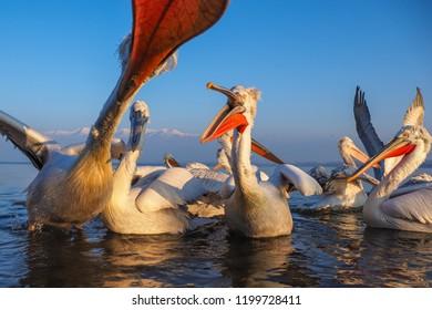 Dalmatian Pelican (Pelecanus crispus) on Water, in Winter, in Breeding Plumage