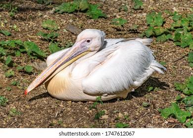 Dalmatian pelican (Pelecanus crispus) sits on ground with wings folded - Shutterstock ID 1747612067