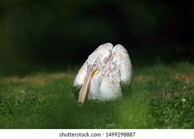 The Dalmatian pelican (Pelecanus crispus) sitting on the meadow. Big pelican with green background.