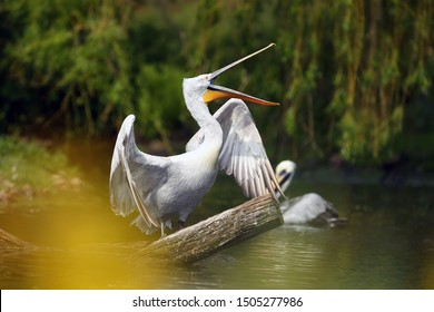 The Dalmatian pelican (Pelecanus crispus) standing on the branch with open beak. The great pelican with e with its open beak prevents flying birds.