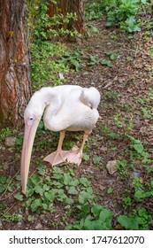 Dalmatian pelican (Pelecanus crispus) stays on ground near tree and eats plants - Shutterstock ID 1747612070